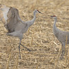 Sandhill cranes acting up