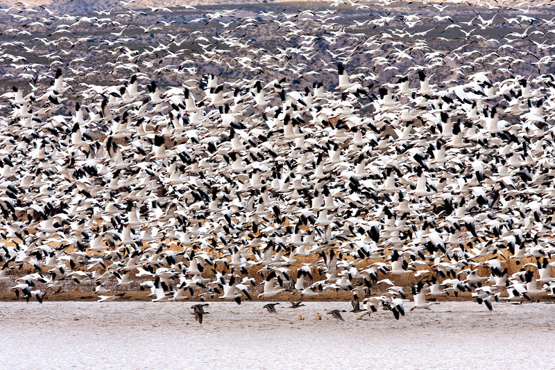 Blast off of geese and ducks at Bosque del Apache, NM
