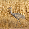 Walking Sandhill Crane