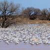 Pond full of Sandhill Cranes at Whitewater draw
