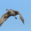 Flying Sandhill Crane with shadow