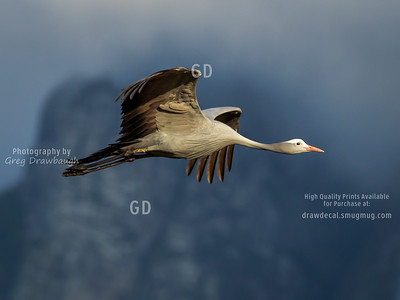 Blue Crane, National Bird of South Africa