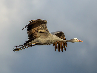 Blue Crane, National Bird of South Africa