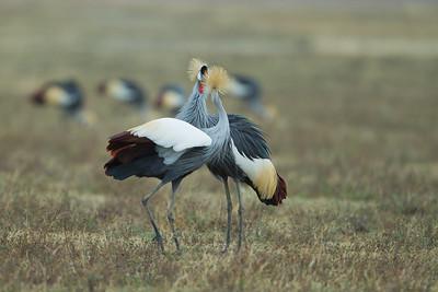Grey Crowned Cranes - Ngorongoro Crater, Tanzania