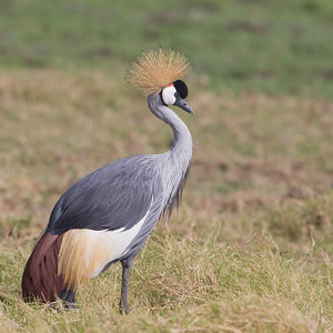 Grey Crowned Crane - Amboseli National Park, Kenya
