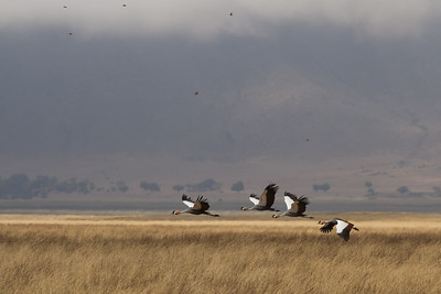 Grey Crowned Cranes in flight - Ngorongoro Crater, Tanzania