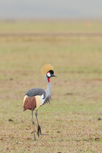 Grey Crowned Crane - Ngorongoro Crater, Tanzania