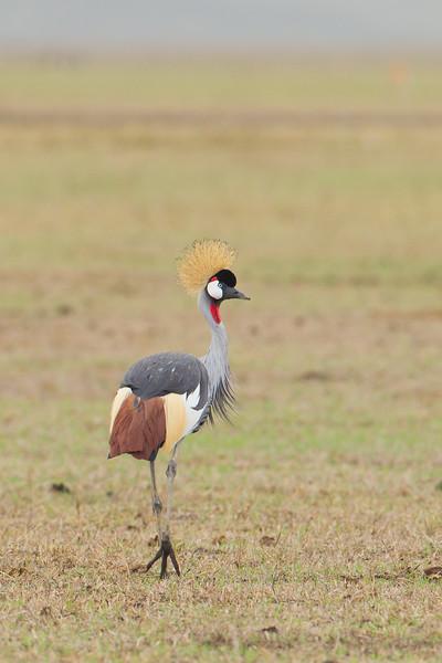 Cranes - Gruidae