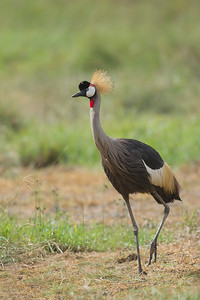 Grey Crowned Crane - Lake Nakuru National Park, Kenya