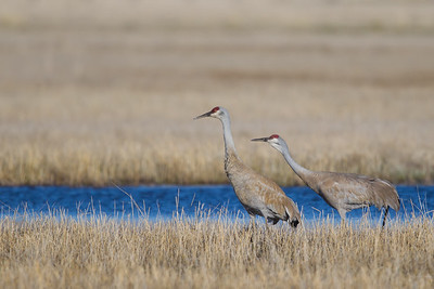 Sand Hill Cranes - Sierra Valley, CA, USA