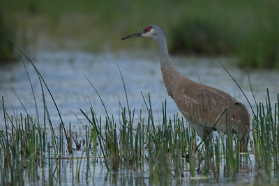 Sand Hill Crane - Sierra Valley, CA, USA