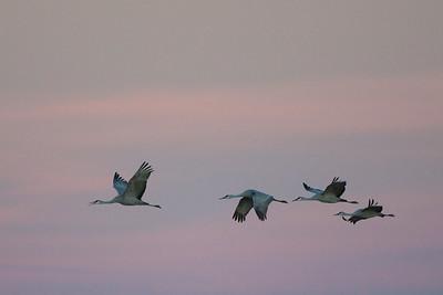 Sandhil Cranes - Bosque-del-Apache, NM, USA