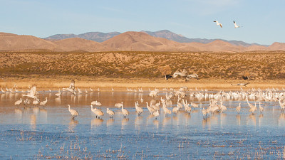 Sandhill Cranes & Snow Geese - Bosque-del-Apache, NM, USA