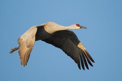Sandhill Crane in flight - Lodi, CA, USA