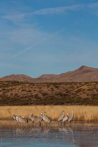 Sandhill Cranes - Bosque-del-Apache, NM, USA