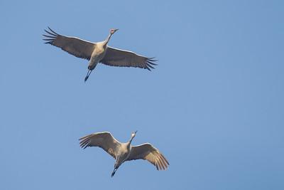 Sandhill Cranes - Bird Haven Ranch, Butte City, CA, USA