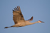 Sandhill Crane in flight - Lodi, CA, USA