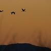 Sarus Crane Silhouette. Bromfield Crater, Atherton Tablelands, Australia