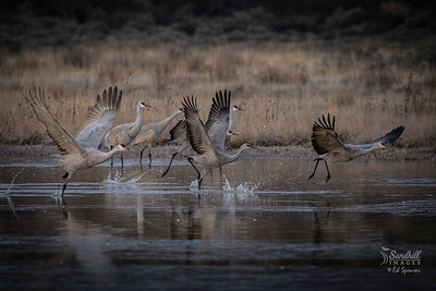 Sandhill cranes at dawn, New Mexico