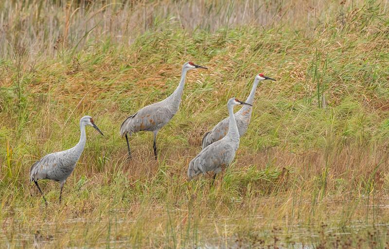 Adult Cranes