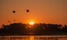 Migrating Cranes at sunrise