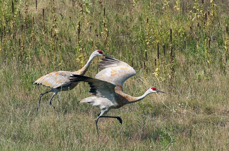 Sandhill Crane Pair Take Off #1