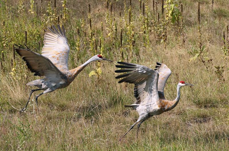 Sandhill Crane Pair Take off #3