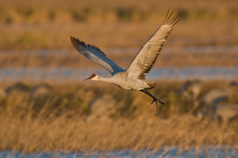 ASC-8098: Sandhill Crane in early light