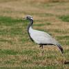 demoiselle crane, Hula-valley, Israel Feb 2009 עגור חן - מזדמן נדיר בישראל