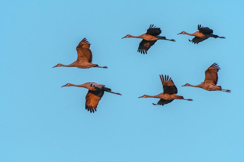 Sandhill Cranes in evening light