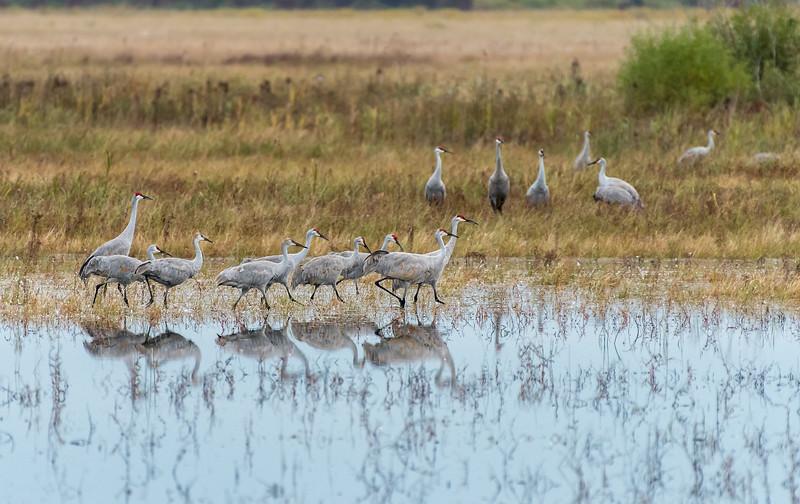 Sandhill Cranes at Crex Meadows WMA