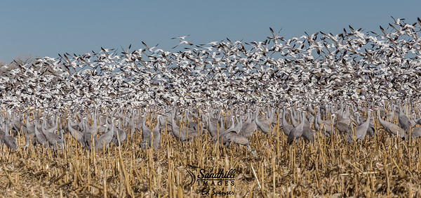 Snow geese and sandhill cranes, New Mexico