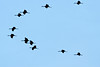 ASC-9021: Sandhill Crane silhouettes