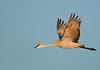 ASC-9280: Adult Sandhill Crane