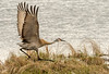 Sandhill taking flight