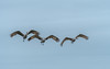 Cranes coming in