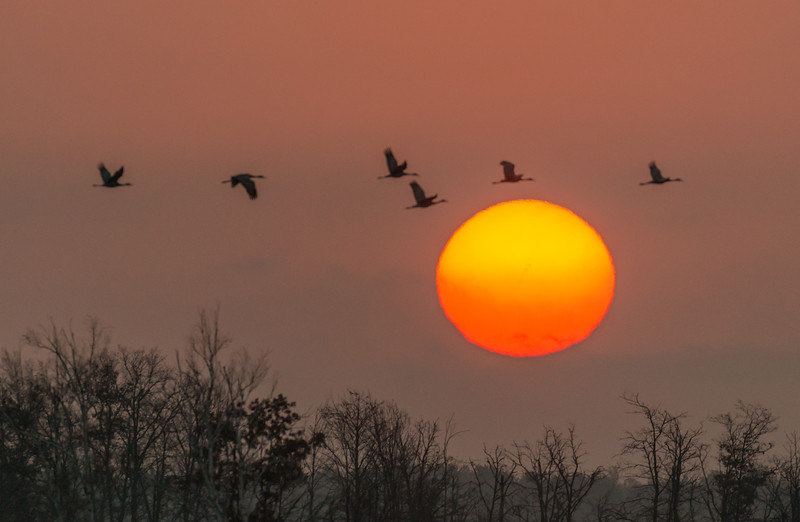 Cranes and rising sun