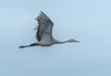 Adult Crane on the wing