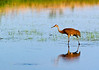 ASC-7024: Adult Sandhill Crane at Phantom Lake