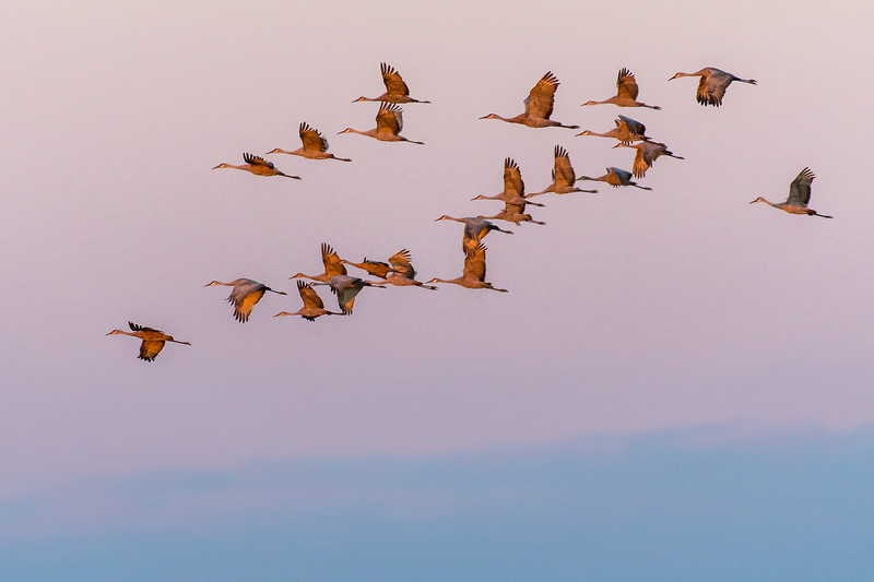 Cranes flying in at twilight
