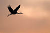ASC-9066: Sandhill Crane evening silhouette