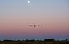 Full moon Cranes at twilight