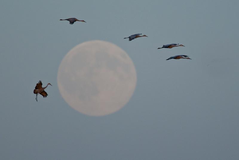 ASC-10150: Cranes flying by full moon