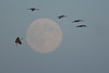 ASC-10150: Cranes flying by full moon