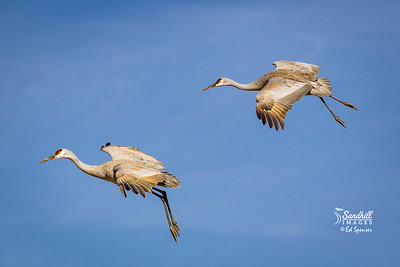 Sandhill Cranes New Mexico