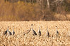 ASC-10126: Cranes in the corn fields
