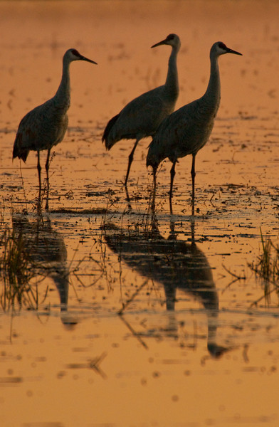 ASC-9361: Sandhill silhouettes and reflections
