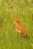 ASC-7010: Adult Sandhill Crane