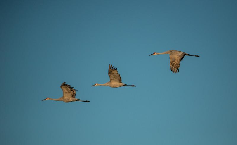 Three Sandhill Cranes