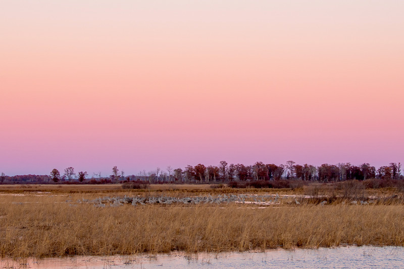 Cranes at evening roost site